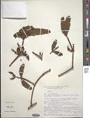 view Phoradendron dipterum Eichler digital asset number 1