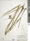 view Hypolytrum pulchrum (Rudge) H. Pfeiff. digital asset number 1