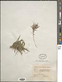 view Dichanthelium pedicellatum digital asset number 1
