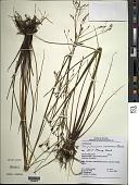 view Rhynchospora cajennensis Boeckeler digital asset number 1