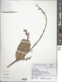 view Heteropterys macrostachya A. Juss. digital asset number 1