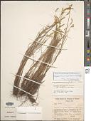 view Paspalum auricomum (A.G. Burm.) S. Denham digital asset number 1