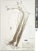 view Fimbristylis autumnalis (L.) Roem. & Schult. digital asset number 1