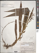 view Xiphidium caeruleum Aubl. digital asset number 1