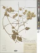 view Desmodium rhynchodesmum (S.F. Blake) Standl. digital asset number 1