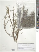 view Juniperus flaccida Schltdl. digital asset number 1