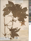view Passiflora adenopoda DC. digital asset number 1