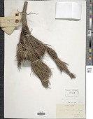 view Pinus densata Mast. digital asset number 1