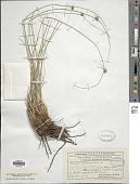 view Scirpoides holoschoenus (L.) Soják digital asset number 1