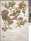 view Phoradendron tomentosum DC. digital asset number 1