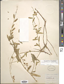 view Polygala cornuta var. fishiae (Parry) Jeps. digital asset number 1