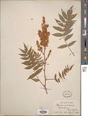 view Sorbaria sorbifolia (L.) A. Braun digital asset number 1