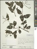 view Myriopus rubicundus (Salzm. ex DC.) Luebert digital asset number 1