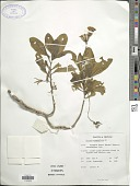 view Notonia grandiflora DC. digital asset number 1