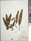 view Elaphoglossum hirtum digital asset number 1