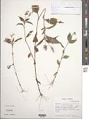 view Aneilema nicholsonii C.B. Clarke digital asset number 1