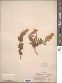 view Chamaebatiaria millefolium (Torr.) Maxim. digital asset number 1