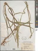 view Glyceria leptolepis digital asset number 1