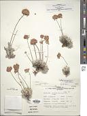 view Eriogonum ovalifolium var. ovalifolium digital asset number 1