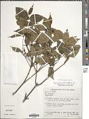 view Psychotria barbiflora DC. digital asset number 1