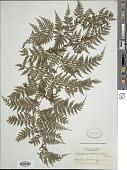 view Culcita coniifolia (Hook.) Maxon digital asset number 1