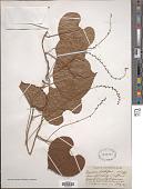 view Dioscorea bulbifera L. digital asset number 1