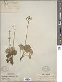 view Saxifraga nelsoniana var. nelsoniana digital asset number 1
