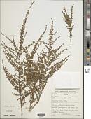 view Aspalathus recurva Benth. digital asset number 1