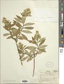 view Baccharis oblongifolia (Ruiz & Pav.) Pers. digital asset number 1