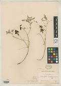 view Astragalus chapalanus M.E. Jones digital asset number 1