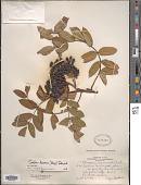 view Sorbus decora (Sarg.) C.K. Schneid. digital asset number 1