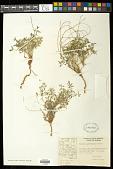view Euphorbia pediculifera digital asset number 1
