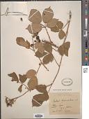 view Rubus timendus Sudre digital asset number 1