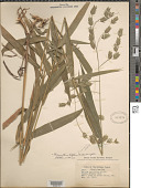 view Chasmanthium latifolium (Michx.) H.O. Yates digital asset number 1