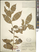 view Casearia quinduensis Tul. digital asset number 1
