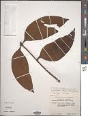 view Dendrophthora obliqua (C. Presl) Wiens digital asset number 1