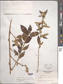 view Chamissoa altissima (Jacq.) Kunth var. altissima digital asset number 1