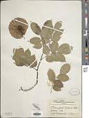 view Pterocarpus tinctorius Welw. digital asset number 1