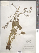 view Saxifraga odontoloma Piper digital asset number 1