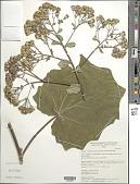 view Roldana chapalensis var. areolatus (S. Watson) H. Rob. & Brettell digital asset number 1