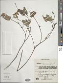 view Eriosema benthamianum Benth. digital asset number 1