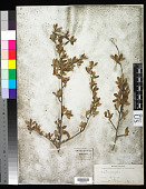 view Cercocarpus montanus var. paucidentatus (S. Watson) F.L. Martin digital asset number 1