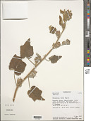 view Hibiscus x sp. digital asset number 1