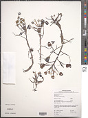 view Eichhornia diversifolia (Vahl) Urb. digital asset number 1