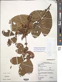 view Sloanea parviflora Planch. ex Benth. digital asset number 1