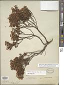 view Leiophyllum buxifolium (Bergius) Elliott digital asset number 1
