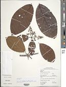 view Malanea macrophylla Bartl. ex Griseb. digital asset number 1