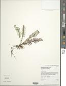 view Adenophorus pinnatifidus var. rockii (Copel.) D.D. Palmer digital asset number 1