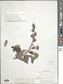 view Machaerium aristulatum (Spruce ex Benth.) Duckee digital asset number 1
