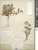 view Oxalis corniculata subsp. pilosa (Nutt.) Lourteig digital asset number 1